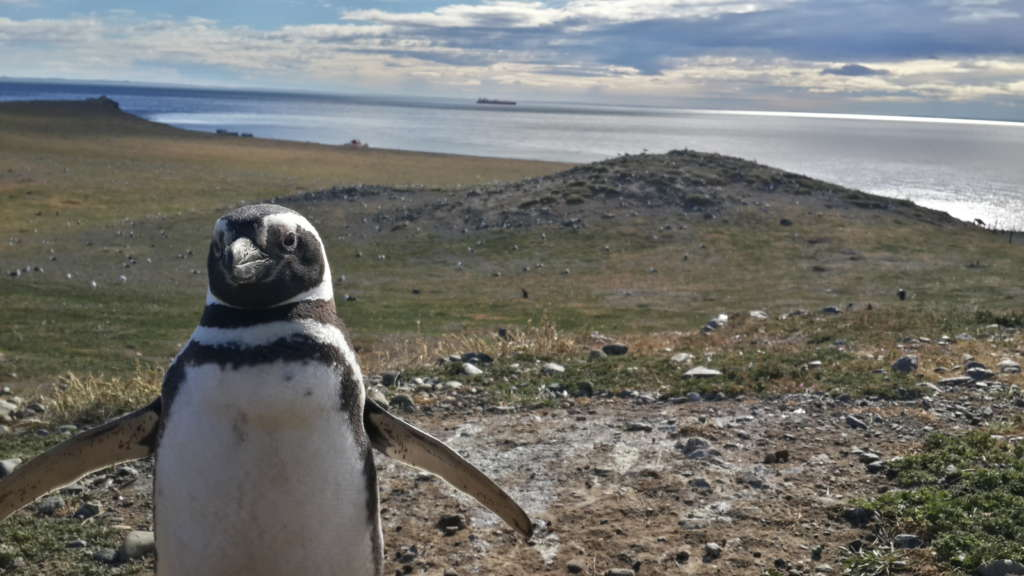 Magellan penguin, Punta Arenas, Chile. The penguins were living in small holes in the ground.
